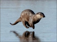 flying otter
